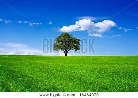 Oak tree in a field on blue sky