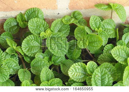 Peppermint green leaves in the nature