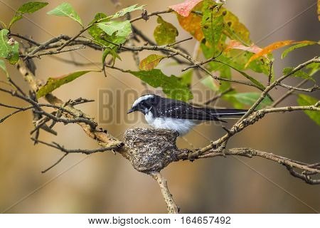 White-browed fantail flycatcher in Uda Walawe, Sri Lanka ; specie Rhipidura aureola family of Rhipiduridae