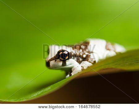Amazon milk tree frog - Trachycephalus resinifictrix