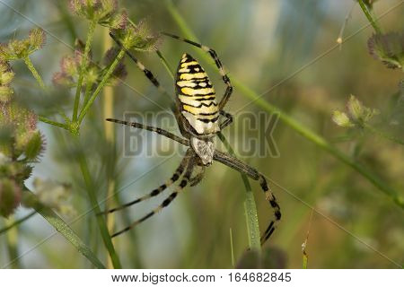 Argiope Bruennichi or spider-wasp on web waiting for prey
