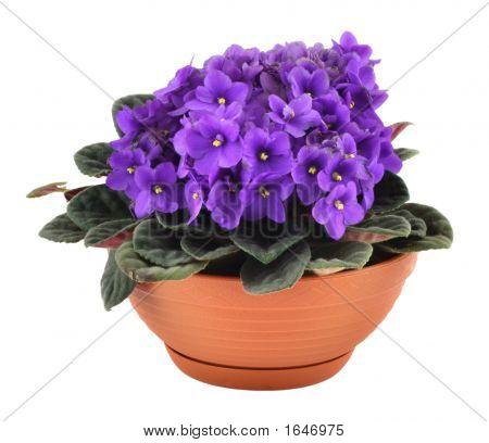 Fresh Violets In Pot