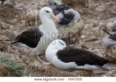 Naturebirdsalbatross Pair