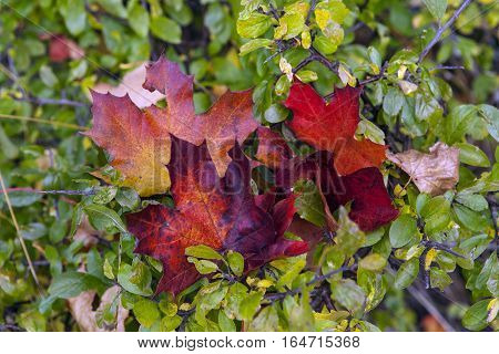 Close up on red and green, colorful maple leaves on a twig. Pure autumn colors outdoor.