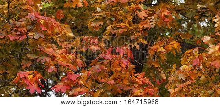 Close up on red and orange, colorful maple leaves on a twig. Pure autumn colors outdoor.