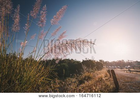 Close focus on red flower grass on local walking path surrounded by tree and bush with blue sky in morning
