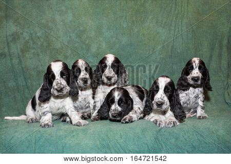 cute small blue English Cocker Spaniel puppy family sitting on green background