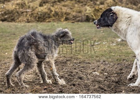 Sickly stray dog defending itself from the attack of big shepherd dog. Two dogs growl menacingly at each other.