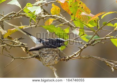White-browed fantail flycatcher in Uda Walawe national park, Sri Lanka ; specie Rhipidura aureola family of Rhipiduridae