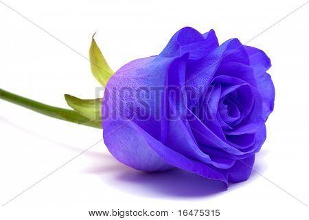de blauwe roos op witte achtergrond