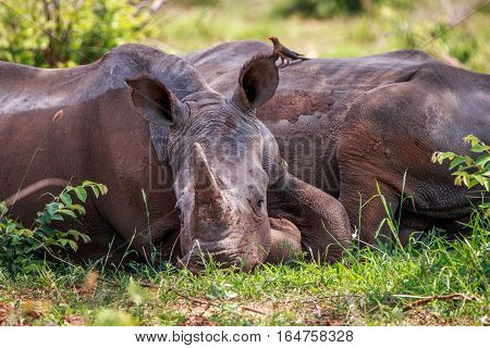 White Rhino Relaxing In The Grass.