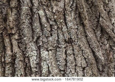 Closeup, macro of an old oak tree, the trunk. Rustic texture.