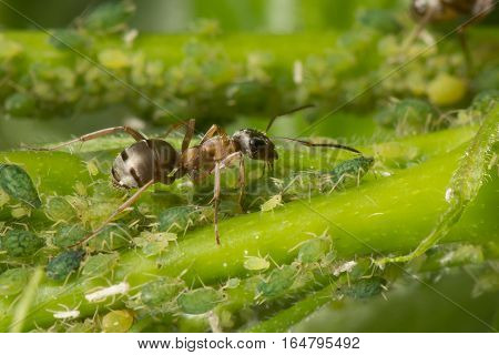 The symbiosis of ants and aphids. Ant tending his flock. Green background