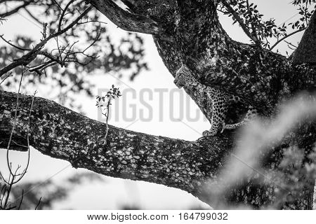 Leopard In A Tree In Black And White.