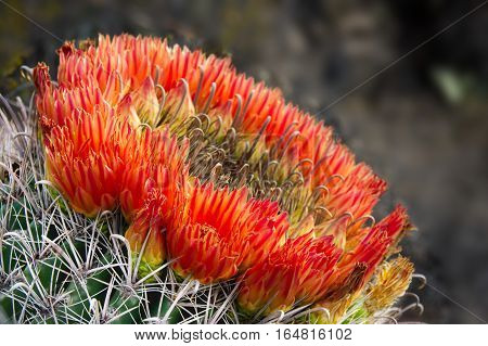 Glowing red blossoms encircle the head of a fishhook barrel cactus. It almost looks like it is on fire.