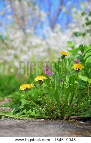 Bush blooming dandelion on blurred natural background. Close-up. Walk through the garden paths. Bright spring day. Nature rejoices.