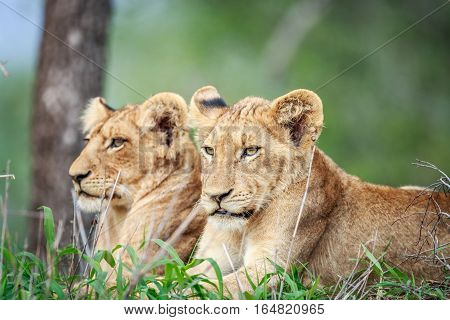 Two Lion Cubs Laying In The Grass.