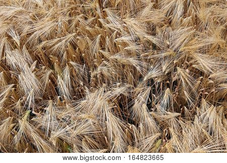Background Of Almost Ripe Ears Of Wheat
