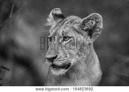 Side Profile Of A Lion Cub In Black And White.