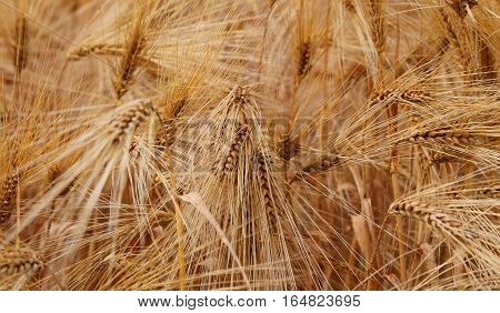 Ears Of Wheat During Ripening In The Wheat Field