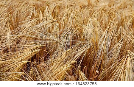 Background Of Almost Ripened Ears Of Wheat During Ripening In Th