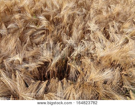 Background Of Almost Ripened Ears Of Wheat