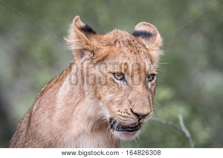 Lion Cub Looking Down.