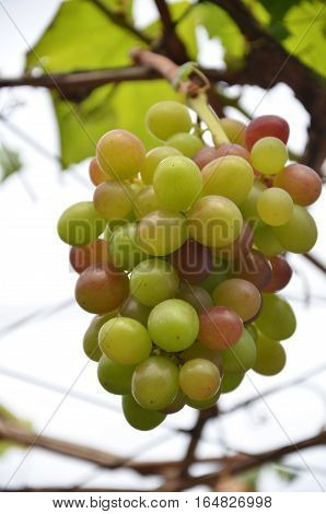 Wine Grapes On Vine