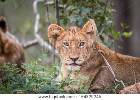 Starring Lion Cub In The Kruger.
