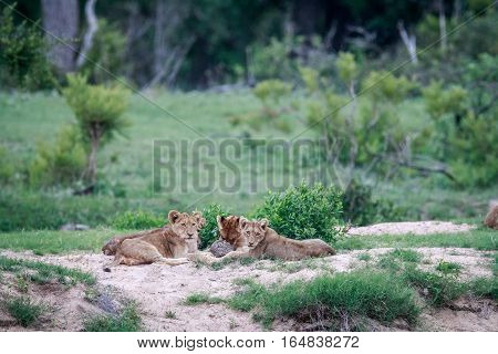 Lion Cubs Playing With A Leopard Tortoise.