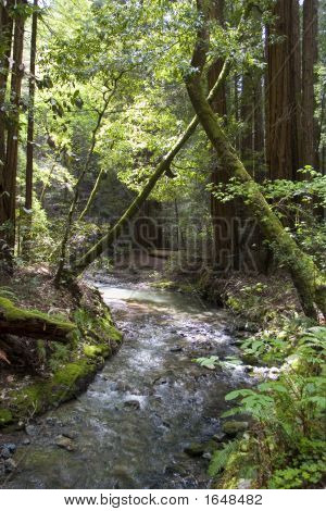 River In Muir Woods