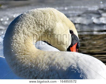 Portrait of swan on a shore of the Lake Ontario in Toronto Canada January 6 2017