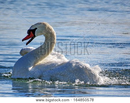 Swan on the Lake Ontario in Toronto Canada January 6 2017