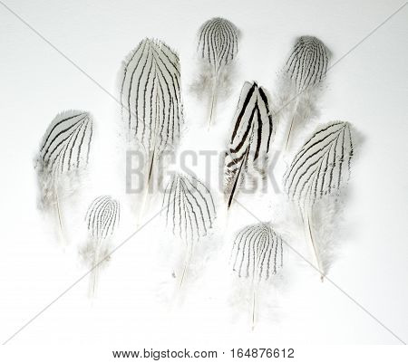 Feathers of Lophura nycthemera Silver pheasant isolated on white