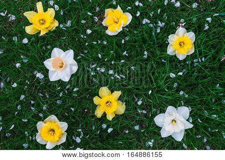 Daffodil on green grass background. Yellow and white narcissus. Greeting card. Copy space.