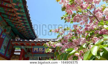 The spring season of cherry blossom trees and Korean views of the building