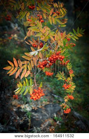 mountain ash branch with berries in the wood, warm