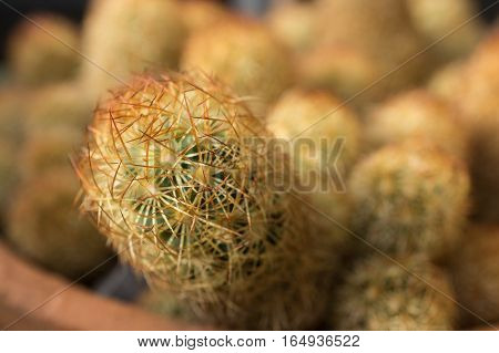domestic cactus closeup thorns, skewers sharp. Clay pot cactus