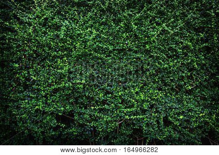 Backdrop of green leaves texture natural wall.