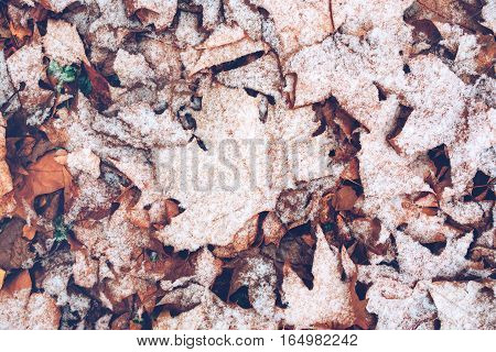 Dry maple leaves under snow top view of abstract natural winter season background