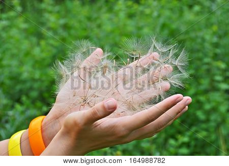 Large Dandelion Seed In Hand