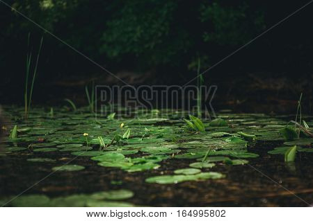 Lily and water lily on the water. River landscape