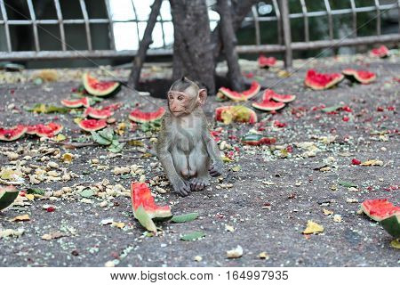Baby Monkey Enjoy To Be Eating Watermelon..