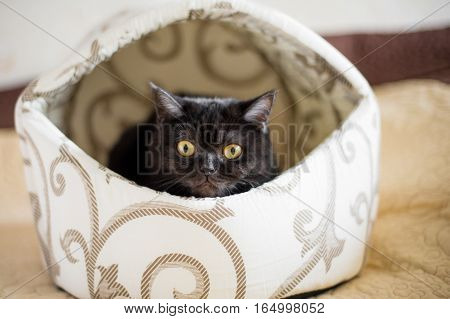 Portrait of Shorthair scottish cat.  Beautiful cat in the kitty house