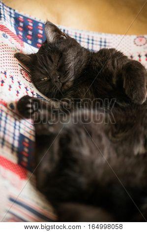 Portrait of Shorthair scottish cat.  Beautiful cat, sleeping