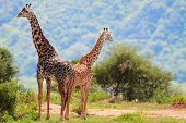 Giraffen im Lake Manyara Nationalpark, Tansania