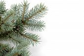 foto of blue spruce  - Blue spruce bough isolated on a white background - JPG
