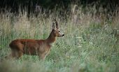 foto of cleaving  - roe deer  - JPG