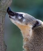 Close-up portrait of a very cute White-nosed Coati (Nasua narica) aka Pizote or Antoon. Diurnal, omn