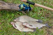 Постер, плакат: Several Common Bream Fish Crucian Fish Roach Fish Bleak Fish On The Natural Background Catching